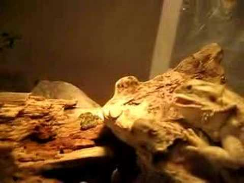 Bearded Dragon Enclosure in Kitchen