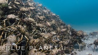 An army of spider crabs shed their shells - Blue Planet II: Episode 5 - BBC One