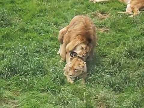 El leon y la leona copulando