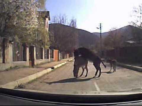 Ослы на дороге. Занятие любовью не получилось uzbek seks prasmotr tvseks.