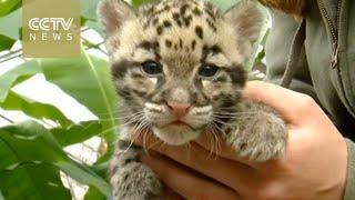 Cute alert! Baby leopards in Belgium