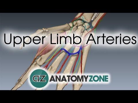 Upper Limb Arteries - Hand and Wrist - 3D Anatomy Tutorial