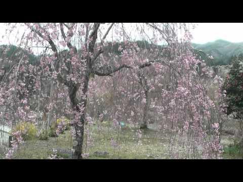 下呂市 「慈雲寺」 ~しだれ桜~