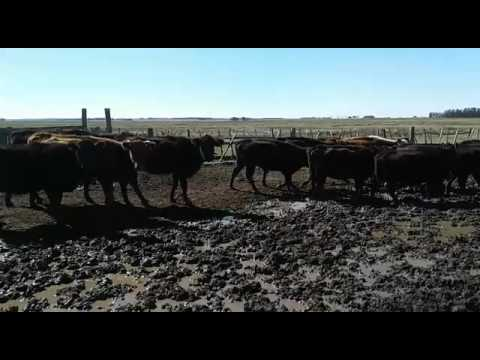 50 Vacas De Invernada En Cerro Largo