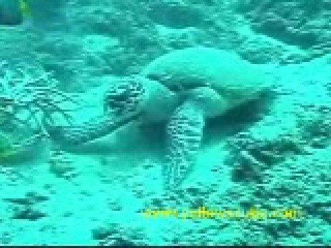 ウミガメ食事中 インドネシア・バリ島 スキューバダイビング