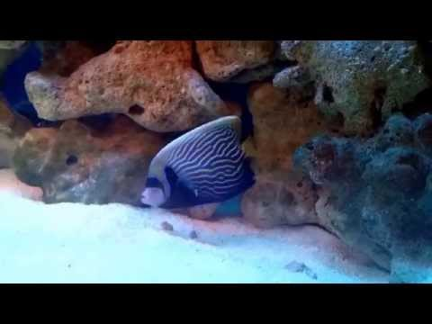 Emperor Angelfish Day1