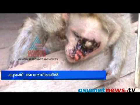 Kollam News:Injured Monkey at Thenmala Dam : Chuttuvattom 17th june  2013 ചുറ്റുവട്ടം