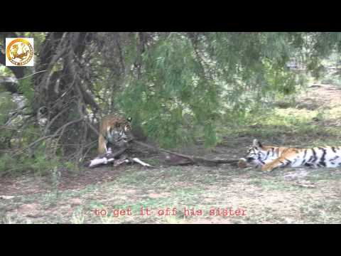 Tug of War between two South China Tigers