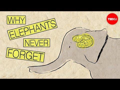Why elephants never forget - Alex Gendler