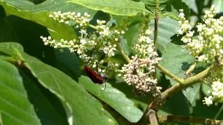Red Longhorn Beetle on Chinese Sumac アカハナカミキリがヌルデの花で摂食、身繕い