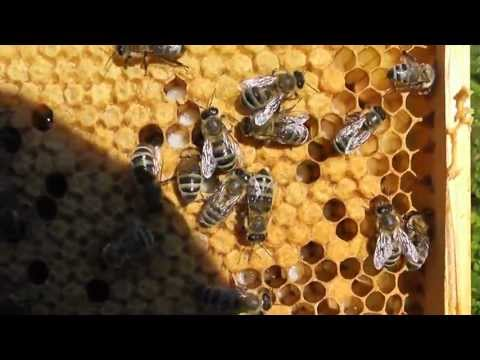 пчелы кто чем ловит матку