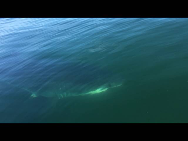 Great White Shark Circles Father And Son On Small Boat - Video