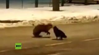 VIRAL: Captan inusual 'batalla' por un chorizo entre un zorro y un gato
