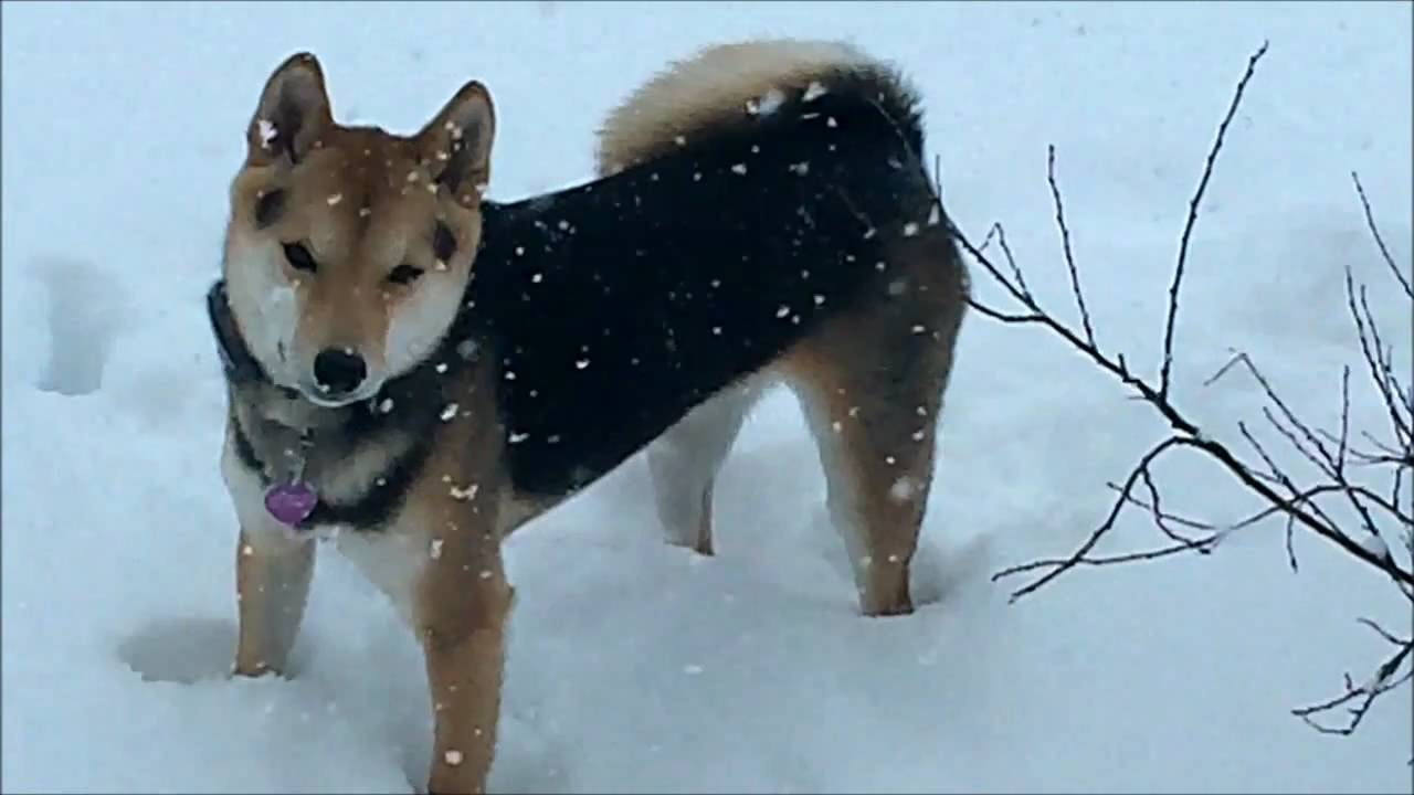 SHIBA INU - Black and Tan