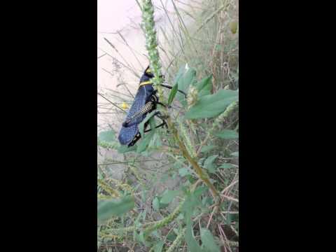 How to kill a grasshopper!