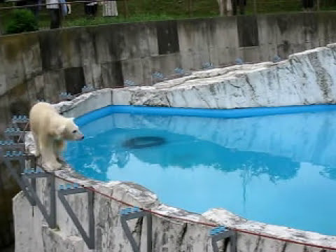 夜の動物園の白クマ1