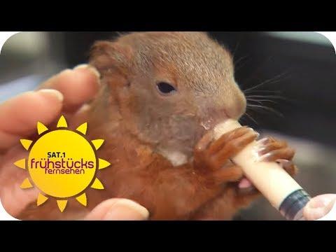 Eichhörnchen in Futternot - so könnt ihr helfen  | SAT.1 Frühstücksfernsehen | TV