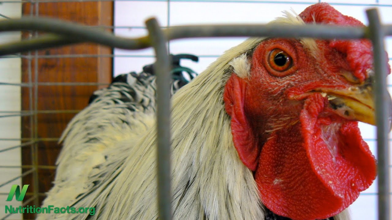 Chicken Dioxins, Viruses, or Antibiotics?