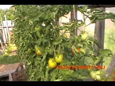 Томаты (помидоры) Продолжаем уход за томатами