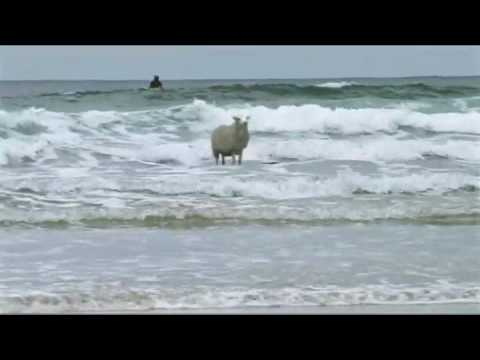 Surfing Sheep