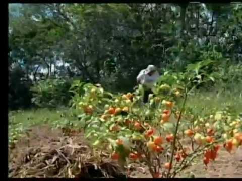 TV Hoje - Produção de Geleia de Pimenta - Minas Rural Emater/MG
