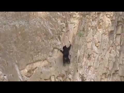 Медведи скалолазы (альпинисты)