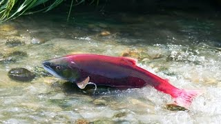 Best Wild Life Documentary : Salmon