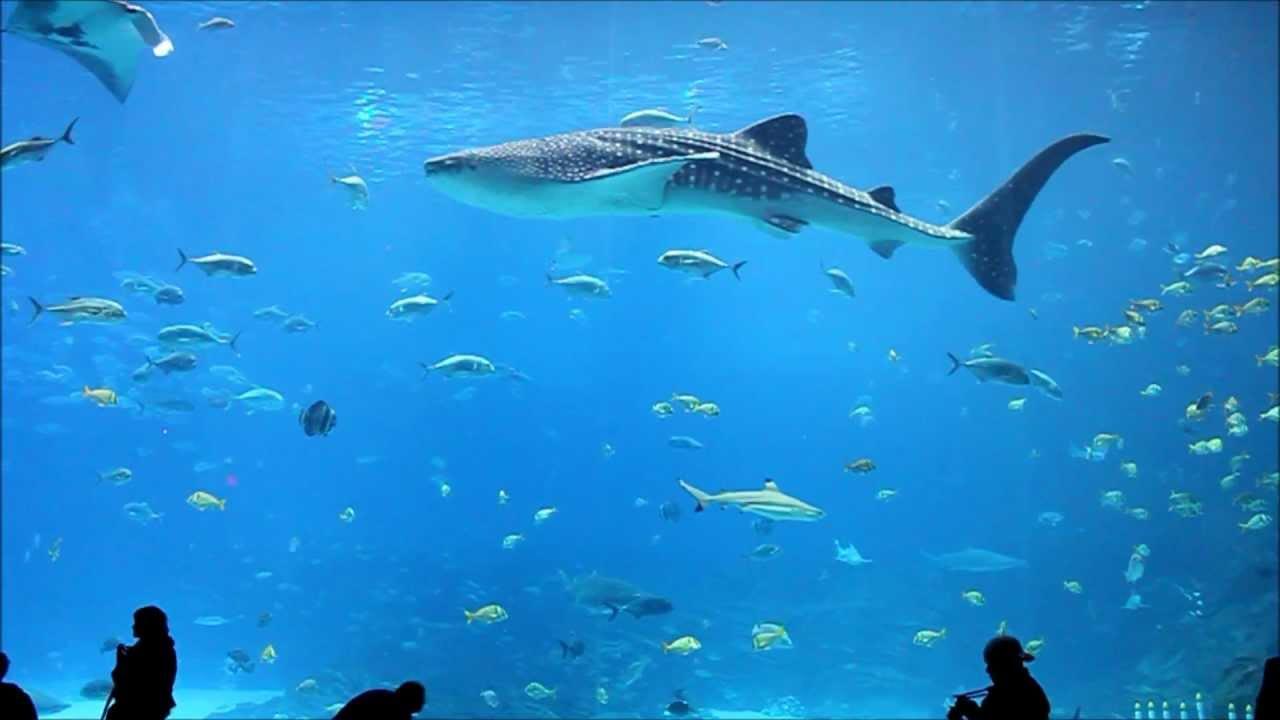 Georgia aquarium whale sharks and stunning fish in 1080p for Georgia freshwater fish