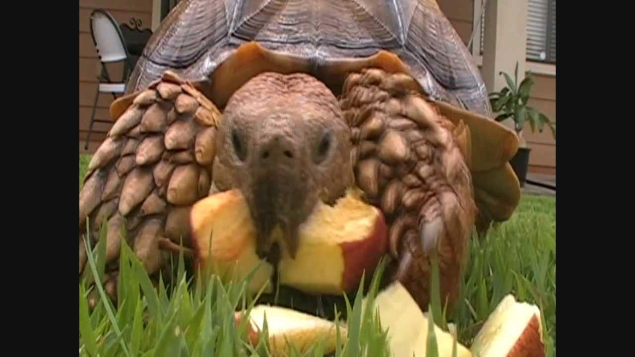 Sulcata Tortoise Care Video Sulcata Tortoise Care