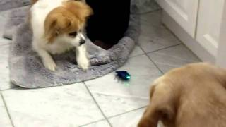Dog goes berserk on a remote control bug