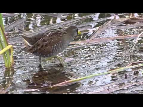 Sora rail. SPI Birding and Nature Center