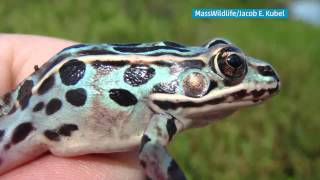 Rare Blue Frog Hopping in Massachusetts