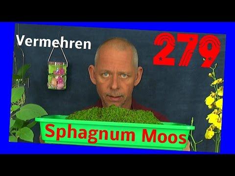 Sphagnum Moos wächst. Sonnentau Sämlinge wachsen