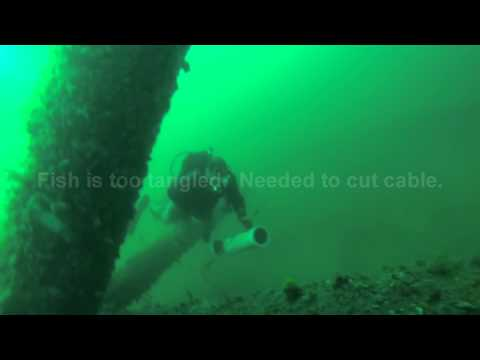 Mississippi Oil Rig Diving 9/13/2014 Gag grouper and African Pompano