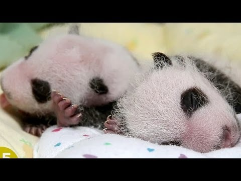 Double Panda-monium! Zoo Atlanta's New Twins