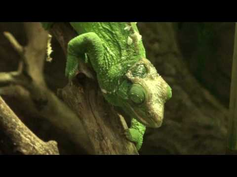 Header of African Chameleon