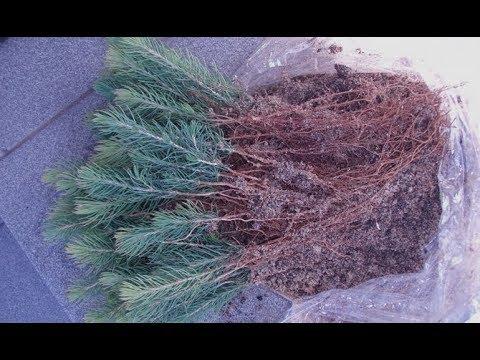 Как сажать голубую ель из семян 940