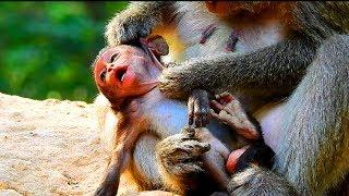 Poor Lori baby ! Why mum not help baby? Monkey maltreat baby so much | Baby need mum