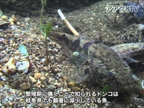 アアク8TV水中映像 ×Goovie 岐阜県の魚類06 絶滅危惧種No.2