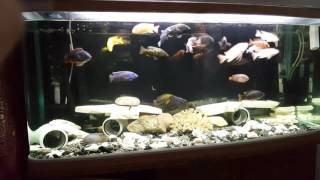 My African cichlids breakfast