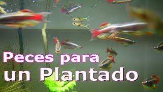 los peces para un acuario plantado