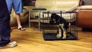 german shepherd pup learning crate
