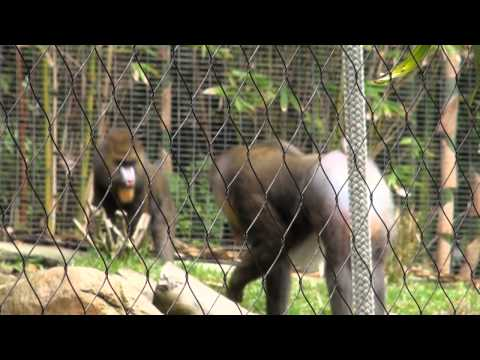 Mandrill Getting Raped  The San Diego Zoo video