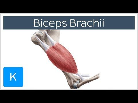 Biceps Brachii Muscle - TheHubEdu.com
