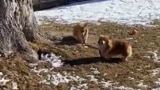 No human needed: Corgi takes other corgi for a walk