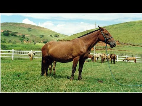 Clique e veja o vídeo Curso Como Avaliar Idade e Pelagem de Cavalos - Como Avaliar a Idade dos Cavalos