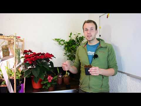 Wir ziehen uns einen Litschibaum - Litschibaum oder Litchibaum (Litchi chinensis) - Exoten im Garten