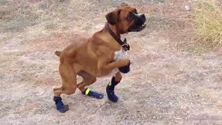 අත්හදා බලන්න නියම බලුවැඩක්Funny Dogs in Boots for the First Time Compilation 2014 [NEW HD]