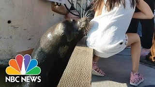 Sea Lion Snatches Little Girl And Drags Her Into Water | NBC News