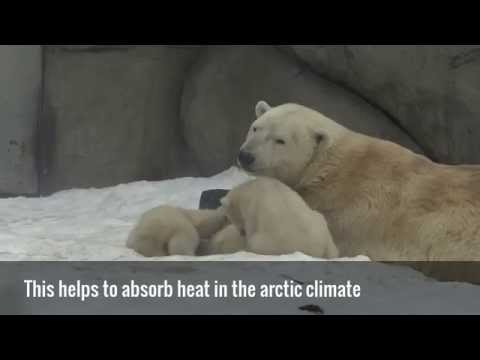 Polar Bear Facts - what you never knew about polar bears